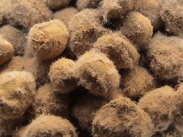 蔵付き麹菌について