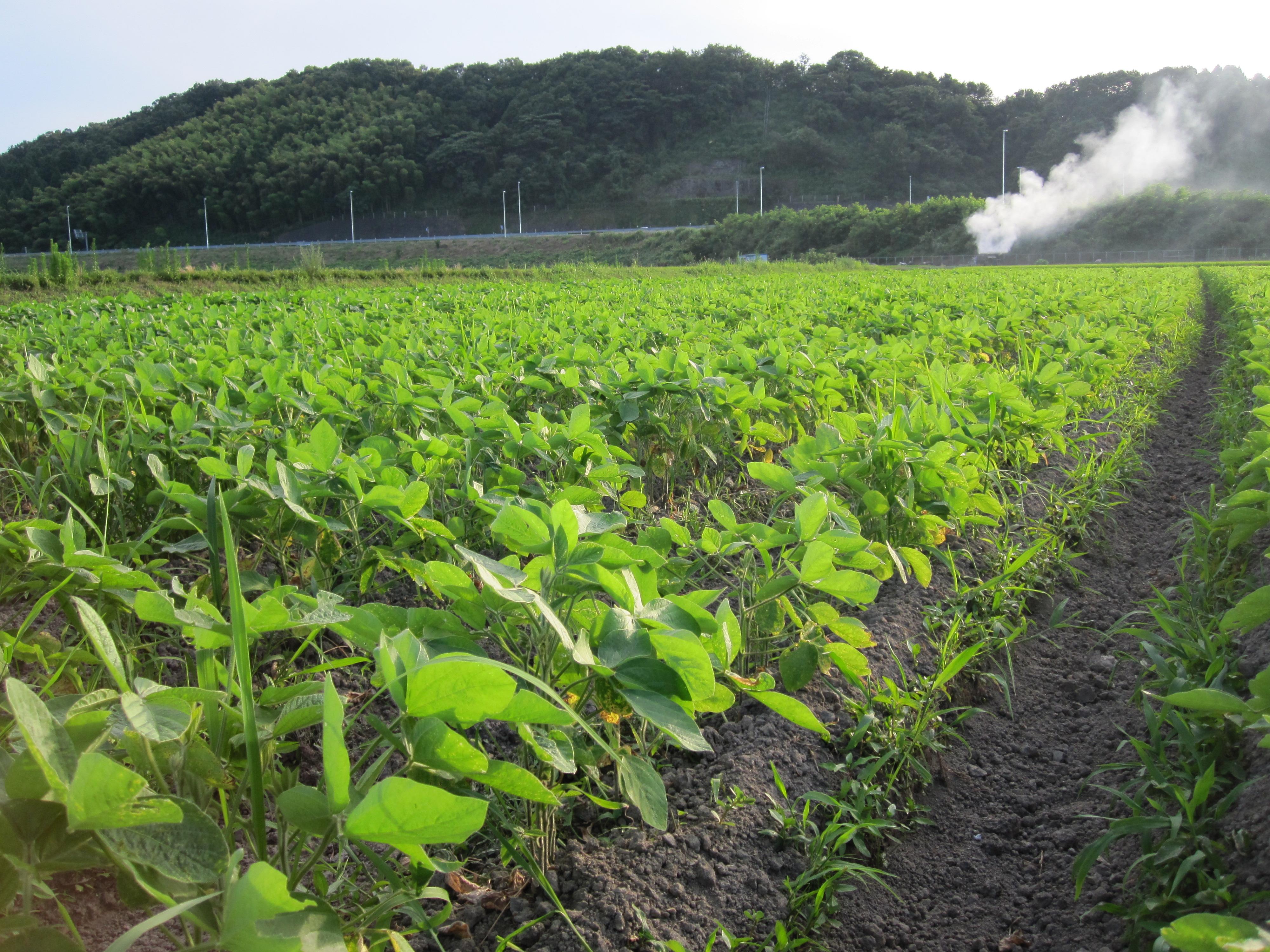 大豆畑なう。