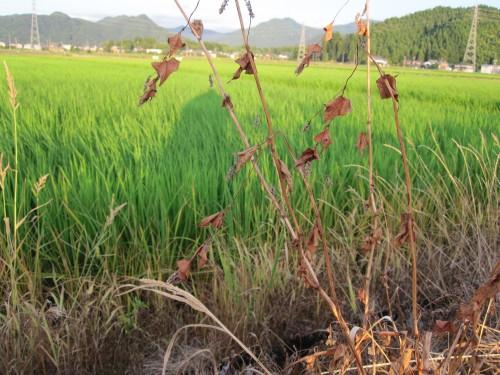 除草剤では除草はできず、枯れるだけ。