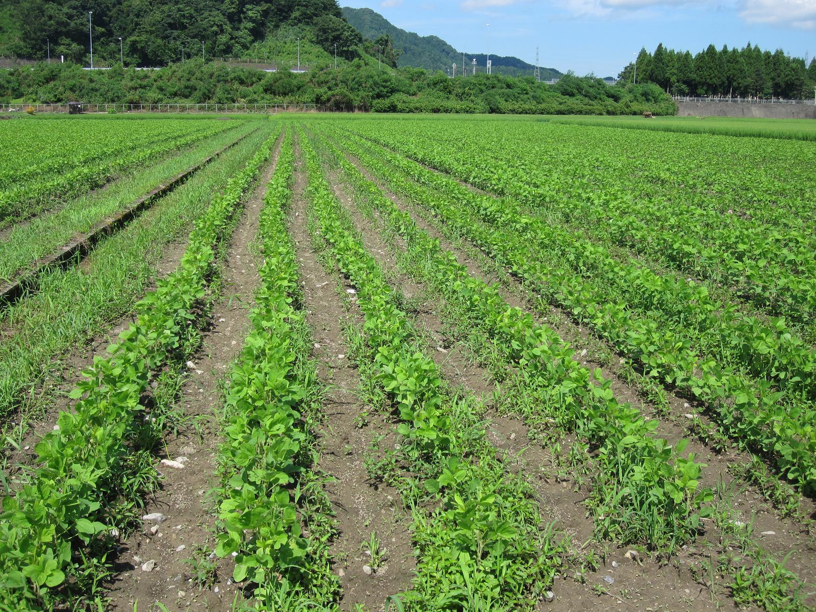 マルカワ味噌の大豆畑。