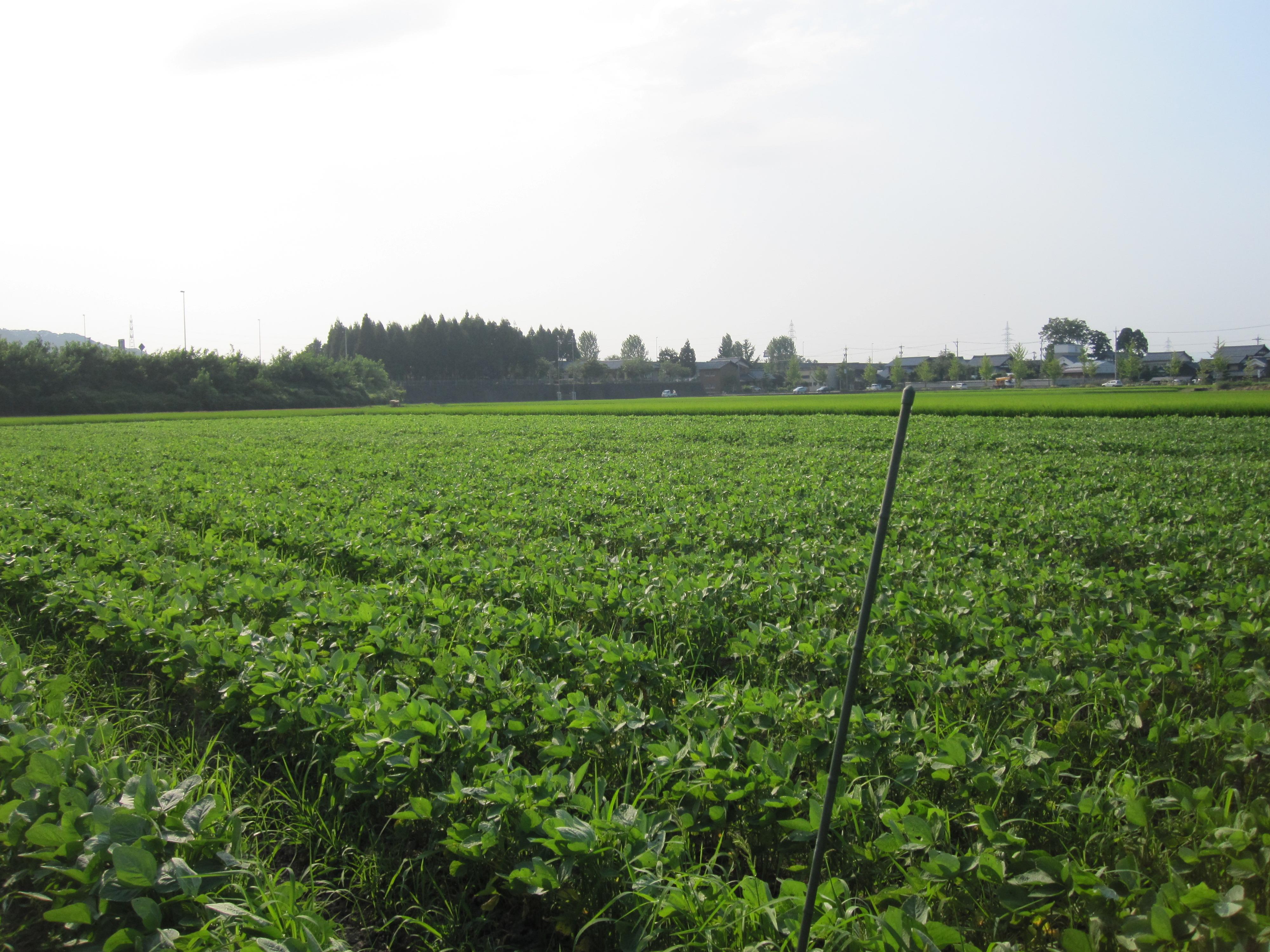毎日、毎日、大豆畑なう。