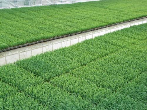 自然栽培ササニシキの苗が育つ