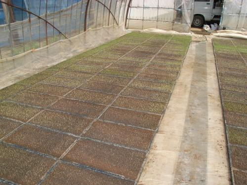 無肥料・自然栽培のササニシキの苗作り