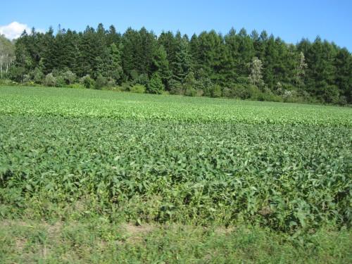 広大な大豆畑