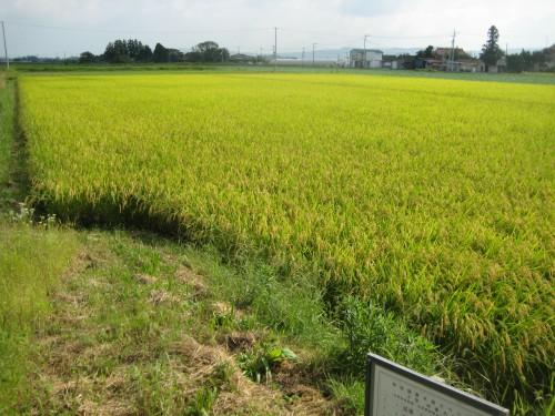 無肥料・自然栽培のササニシキが実る