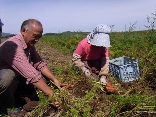 人参の収穫作業