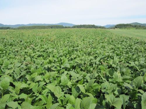 秋場農園の大豆畑