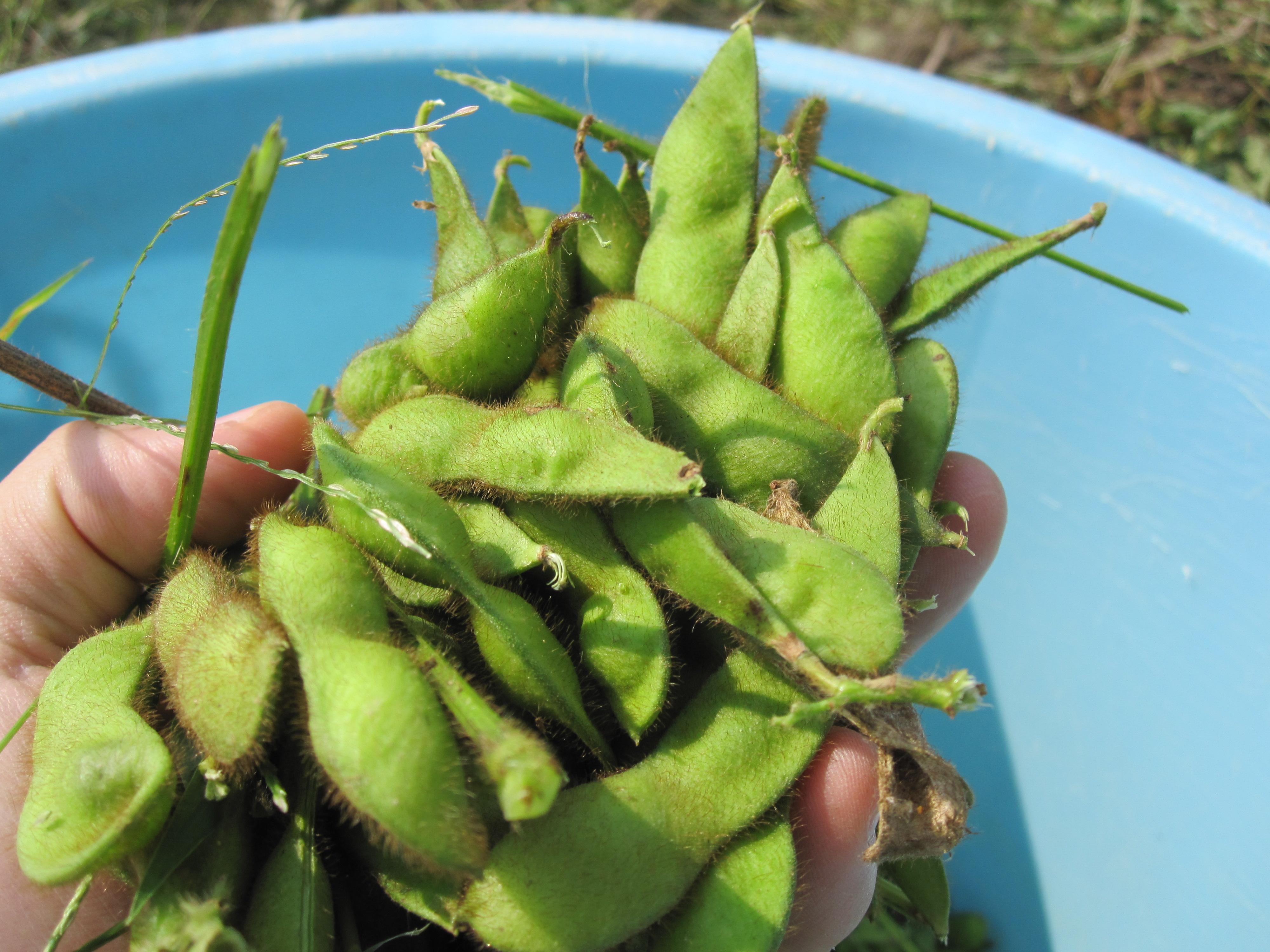 さといらずの枝豆