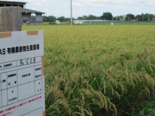 成澤さんの水稲