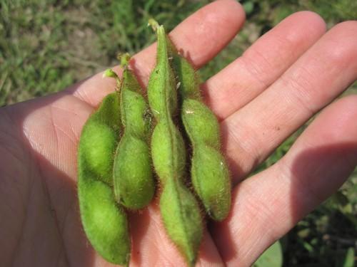 枝豆の生育の様子