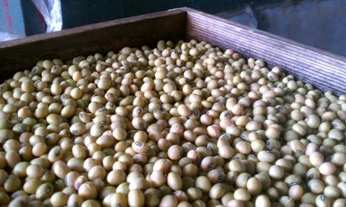 蔵つき麹菌の大豆