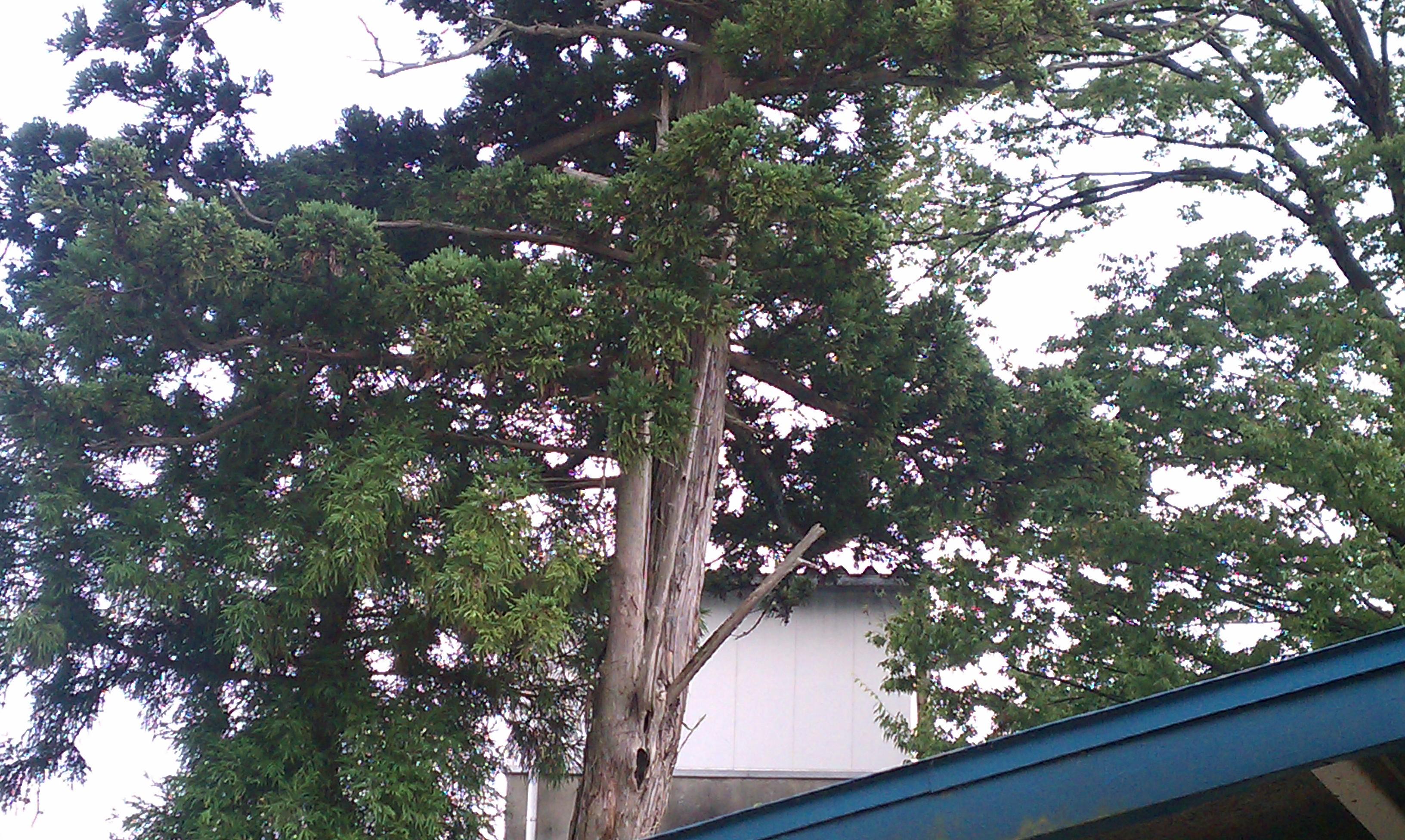 庭の木が割れた