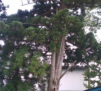 割れた庭木