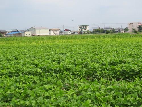 さといらずの大豆畑
