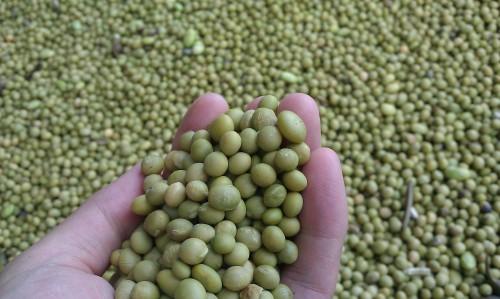 さといらずの大豆