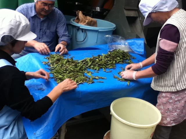 無農薬・無肥料栽培のさといらず枝豆の選別作業が始まった