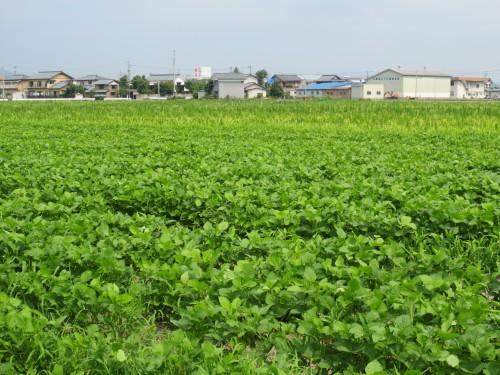大豆畑トラスト運動のさといらずの大豆の生育も好調だ
