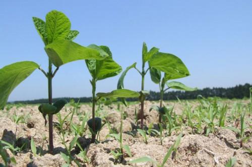 大豆畑トラスト運動の募集が開始。今年も自然栽培の大豆作りが行われます。