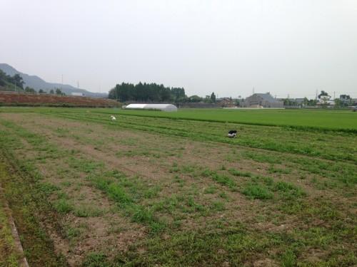 大豆畑トラスト運動の除草&培土を行った