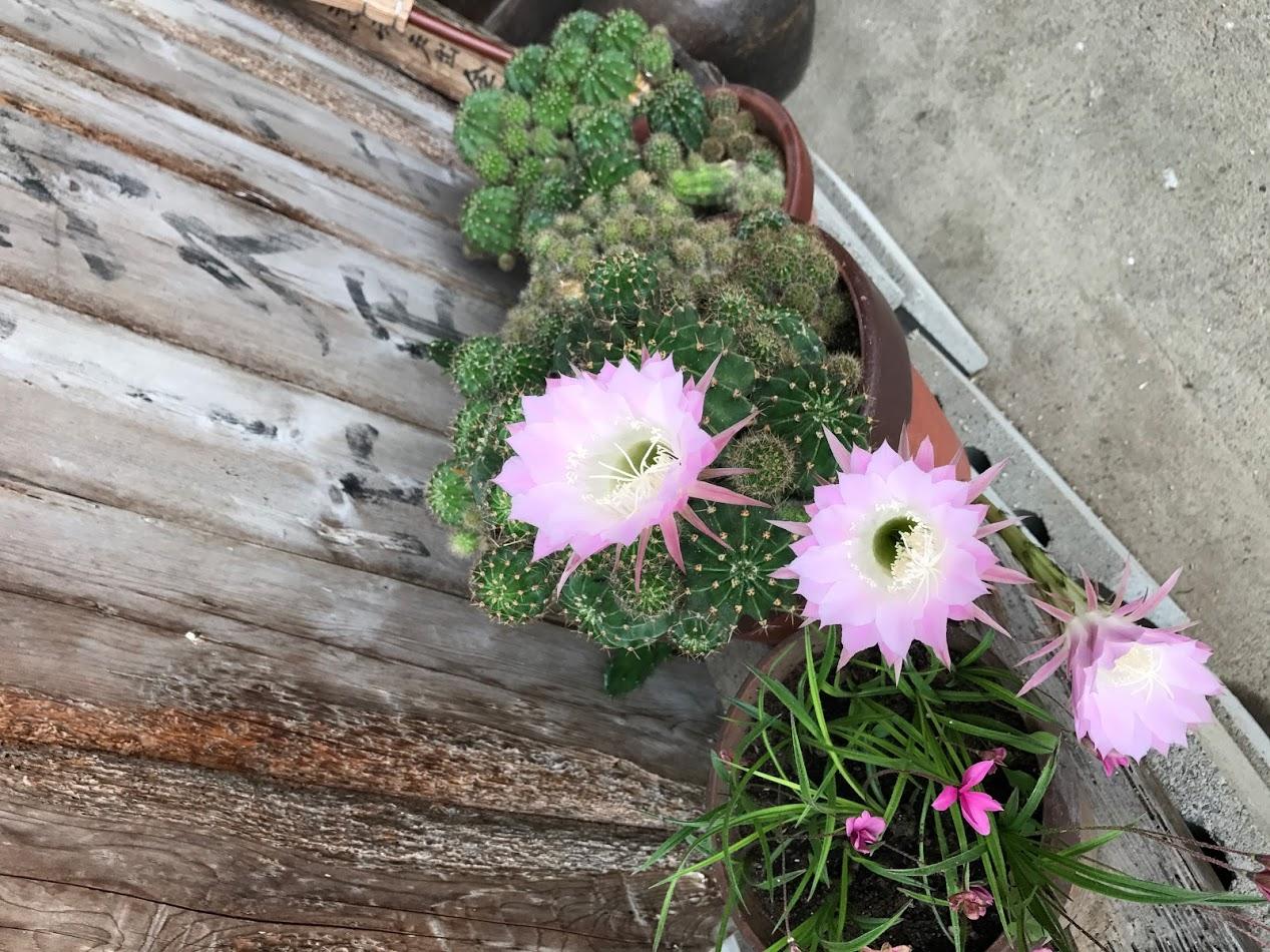 サボテンの花がさいた。可憐で綺麗だ。