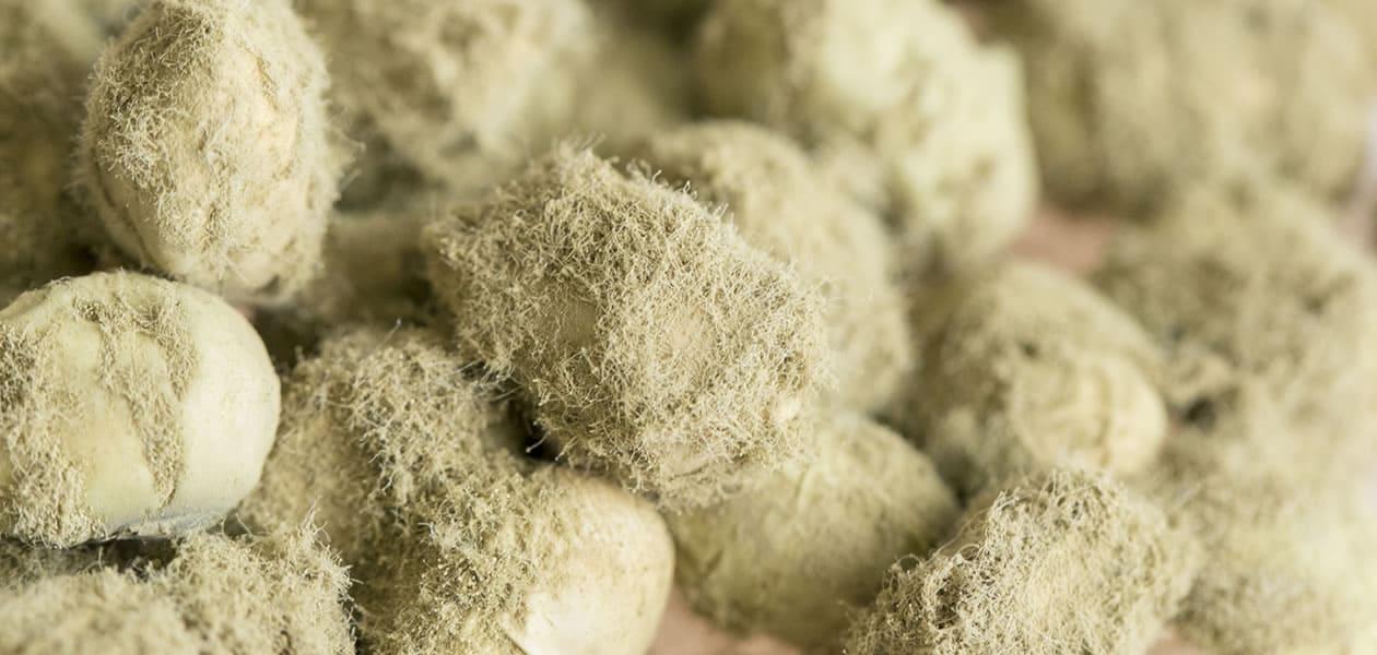 自家採種の蔵つき麹菌